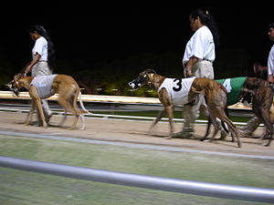 Greyhound racing - Several greyhounds before a race.