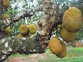 Jackfruit on tree.jpg