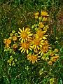 Jacobaea vulgaris 004.JPG