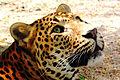 Jaguar (4064797033).jpg