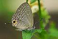 Jamides bochus formosanus 20141108.jpg