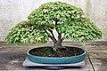 Japanese Maple (Acer palmatum) Yatsubusa (3505088626).jpg