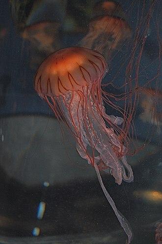 New England Aquarium - Japanese sea nettle