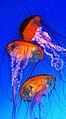 Jellyfish, Omaha aquarium.jpg
