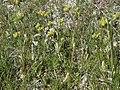 Jepson cinquefoil, Potentilla jepsonii (16698830663).jpg