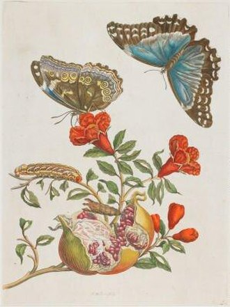 """Joseph Mulder - An etching by Joseph Mulder called """"Blue Butterflies and Pomegranate"""" from Insects of Surinam."""
