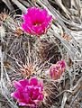 Joshua Tree National Park - Hedgehog Cactus (Echinocereus engelmannii) - 05.JPG