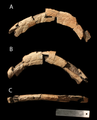 Judiceratops parietal fragment.png