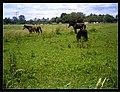June Fruits Farming Horses - Master Seasons Rhine Valley 2013 - panoramio (1).jpg