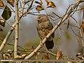 Jungle Babbler (Turdoides striata) (32063224644).jpg