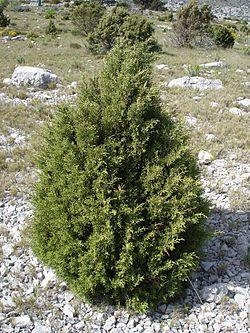 Juniperus phoenicea1.jpg