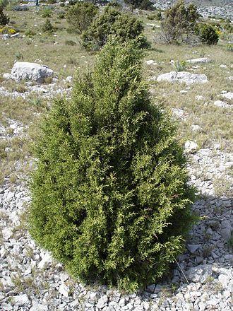Juniperus phoenicea - Juniperus phoenicea