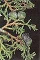 Juniperus thurifera.jpg