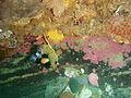 Juvenile Koester at Rheeder's Reef P2277159.JPG