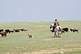 Kazakhstani Cowboy Herding His Sheep (7131701859).jpg