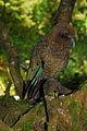 Kea (Nestor notabilis) -side -NZ-8c.jpg