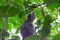 Kedih Baby Thomas Leaf Monkey.jpg