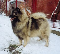 Keeshond tightens the leash.jpg