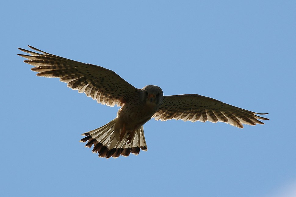Kestrel (Falco tinnunculus) male in flight 2