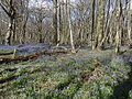 King's Wood in Bluebell season 06.JPG