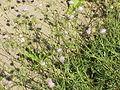 Knautia arvensis0.jpg