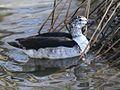 Knob-billed Duck RWD.jpg