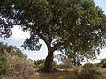 Korkeiche (Quercus suber) im Naturpark Los Alcornocales 3.JPG