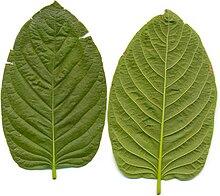 220px-Kratom_leafes.jpg