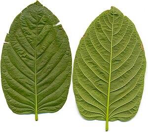 Mitragyna speciosa - Kratom leaves