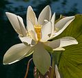 LOTUS WITER LILLY.JPG