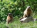 La vallée sauvage marmottes.jpg