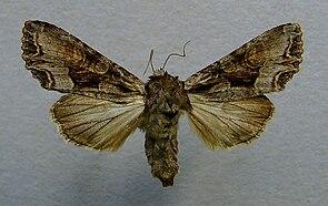 Lacanobia w-latinum.jpg