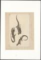 Lacerta stirpium - 1823 - Print - Iconographia Zoologica - Special Collections University of Amsterdam - UBA01 IZA1000092.tif