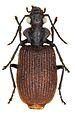 Lachnoderma asperum - ZooKeys-284-001-g004-22.jpeg