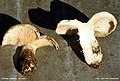 Lactarius vellereus 2wa.jpg