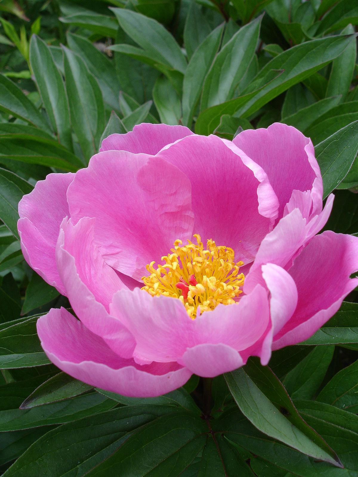 paeonia lactiflora wikipedia