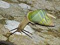 Land Snail (Amphidromus caeruleus) - Niah NP, Sarawak, Malaysia.jpg