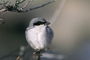Moulting - Loggerhead shrike with normal plumage.