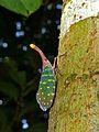 Lantern Bug (Laternaria intricata) (6731094319).jpg