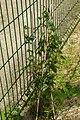 Lapageria rosea, Conservatoire botanique national de Brest 03.jpg
