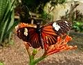 Laparus doris. - Flickr - gailhampshire.jpg