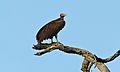 Lappet-faced Vulture (Torgos tracheliotus) (6002870444).jpg