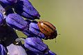 Larch ladybird (Aphidecta obliterata) 2.jpg