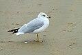 Larus delawarensis -Grover Beach, San Luis Obispo, California, USA-8.jpg