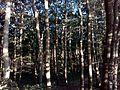 Las bukowy.jpg