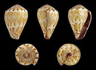 <i>Conus ventricosus mediterraneus</i> species of mollusc