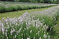 Lavandula angustifolia (22).jpg