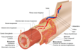 Layers of the GI Tract french.png