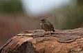 Lazy cisticola, Cisticola aberrans on the Kransberg at Marakele National Park, Limpopo, South Africa (23522366764).jpg