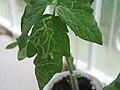 Leaf-miner-tomato.jpg